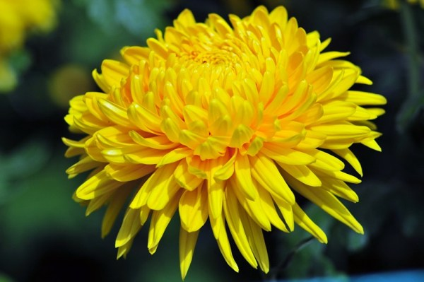 ý nghĩa hoa cúc vàng ngày tết