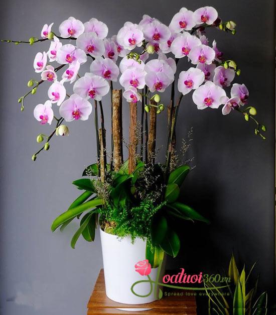 Chậu lan tết tím nhạt mang vẻ đẹp tươi thắm, sắc môi hồng cho năm mới