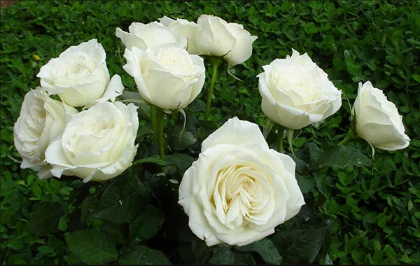 Bông hồng trắng đẹp