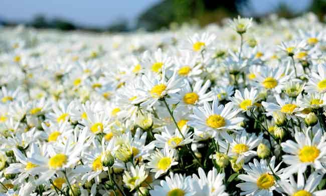 Ý nghĩa hoa cúc họa mi trong tình yêu ngây dại toát vẻ hồn ...