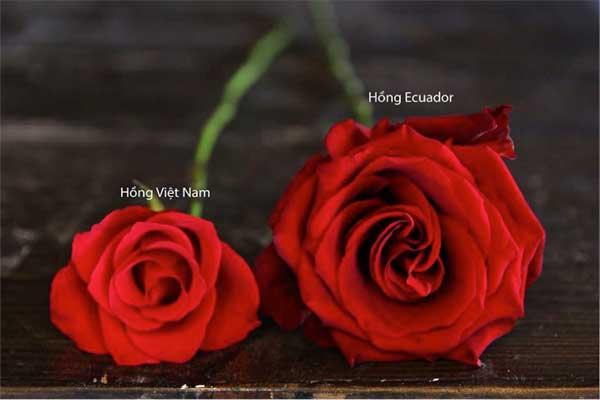 Hồng ecuador với hồng thường