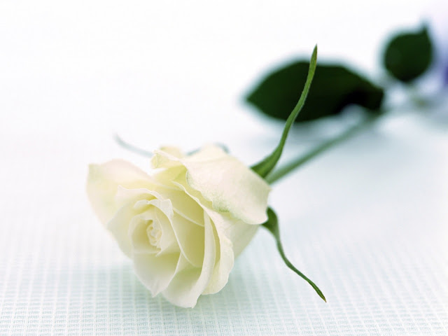Ý nghĩa hoa hồng trắng