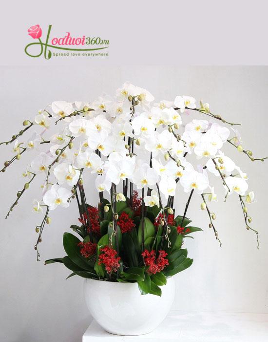 Hoa lan hồ điệp trắng đẹp