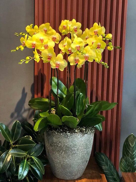 Chậu Lan Hồ Điệp vàng cao thích hợp trưng bày tại quầy hoặc sảnh