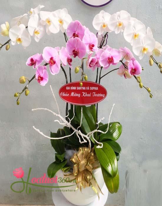 chậu hoa lan phú quý