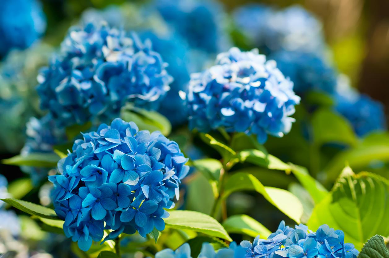 Hoa cẩm tú xin lỗi người yêu