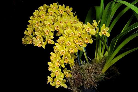 Hoa địa lan vàng cực đẹp