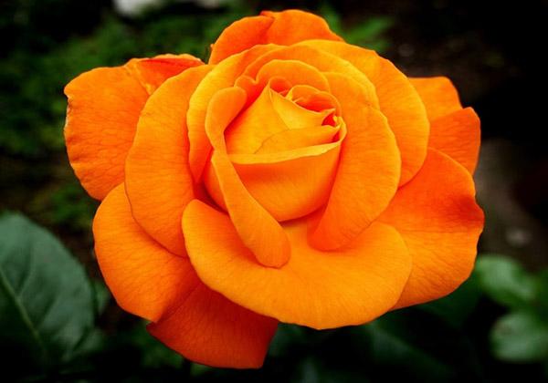 Kết quả hình ảnh cho hoa hồng cam