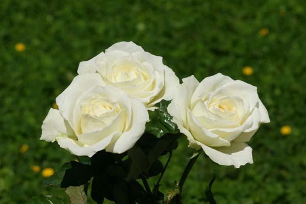 Hoa hồng trắng mang những ý nghĩa gì