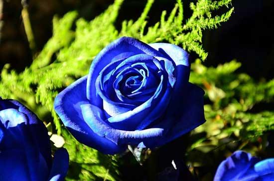 Cây hoa hồng xanh rất hiếm có trong tự nhiên