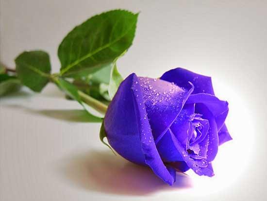 Hoa hồng xanh bất tử - món quà vĩnh cửu