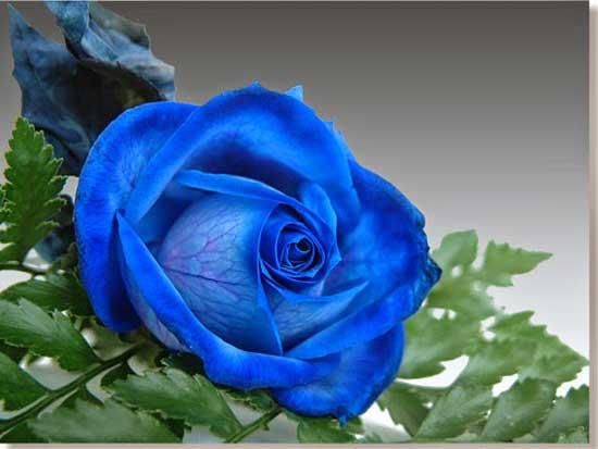 Hoa hồng xanh biểu tượng của sự trân trọng