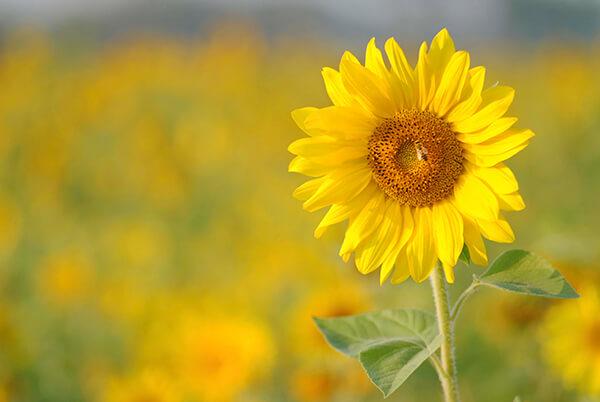 Hoa hướng dương trồng vào mùa nào và nở vào tháng mấy