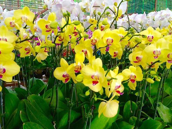 Hoa Lan sinh nhật đẹp màu vàng gửi đến người có tính cách vui vẻ, năng động