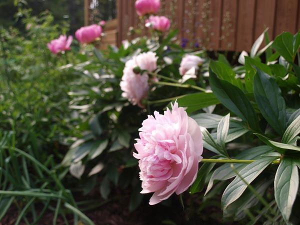 Hoa mẫu đơn hồng - nét đẹp nhẹ nhàng