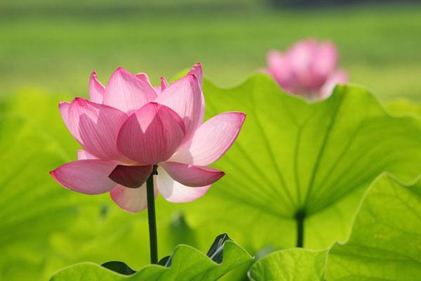 Hoa sen loài hoa đẹp của Việt Nam
