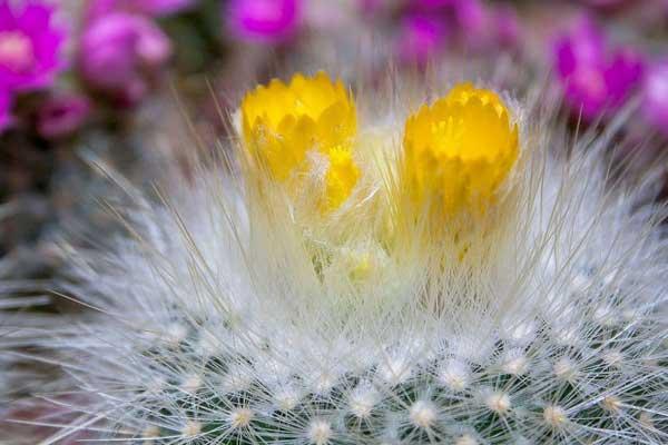 ảnh hoa xương rồng đẹp nhất