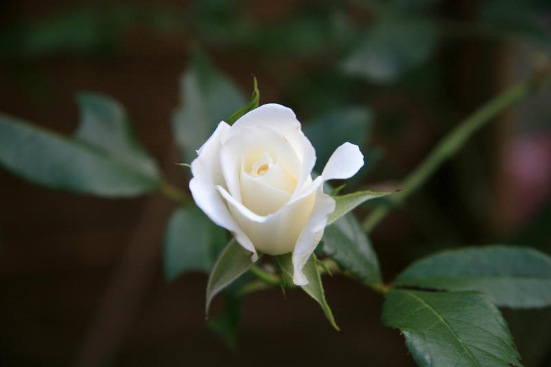 Mỗi bông hồng trắng tượng trưng cho điều một đặc biệt