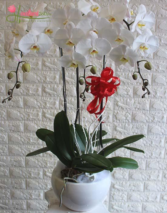 Bình hoa lan hồ điệp trắng