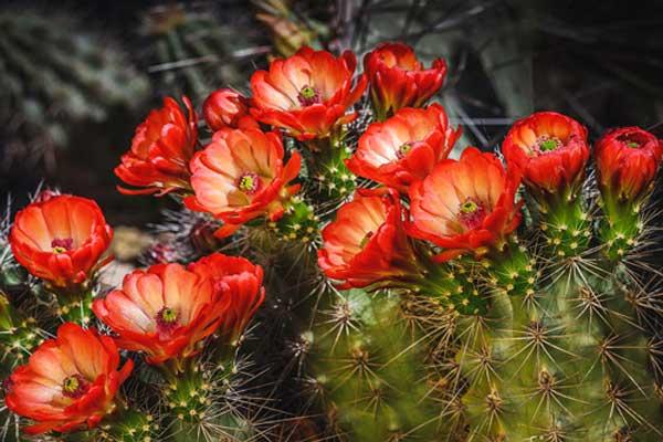 hoa xương rồng đẹp nhất thế giới