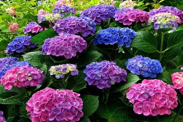 màu sắc hoa cẩm tú cầu bao gồm màu nào?