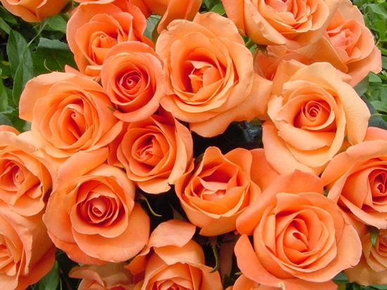 hoa hồng cam truyền thống nhưng có cái nhìn hiện đại nhất