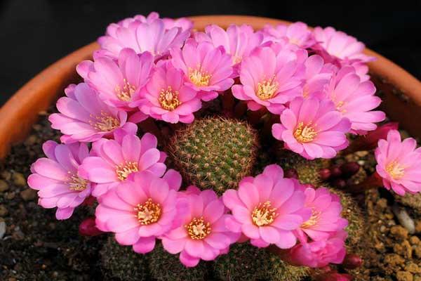 Những loại hoa xương rồng đẹp nhất nở rộ