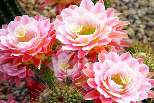 bông hoa xương rồng đẹp