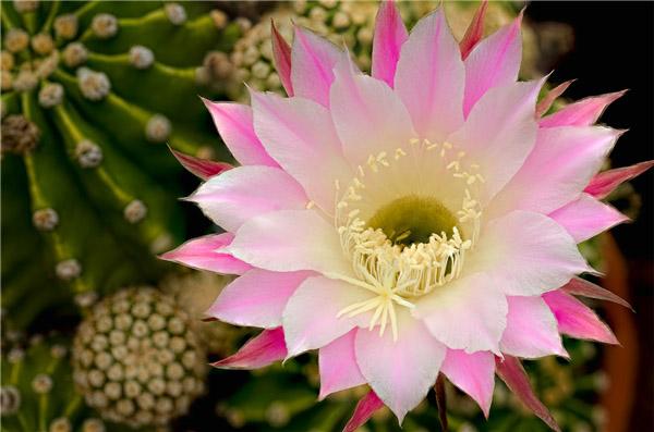 vẻ đẹp của hoa xương rồng