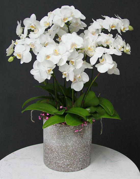 Chậu hoa lan hồ điệp tết màu trắng sang trọng nhất