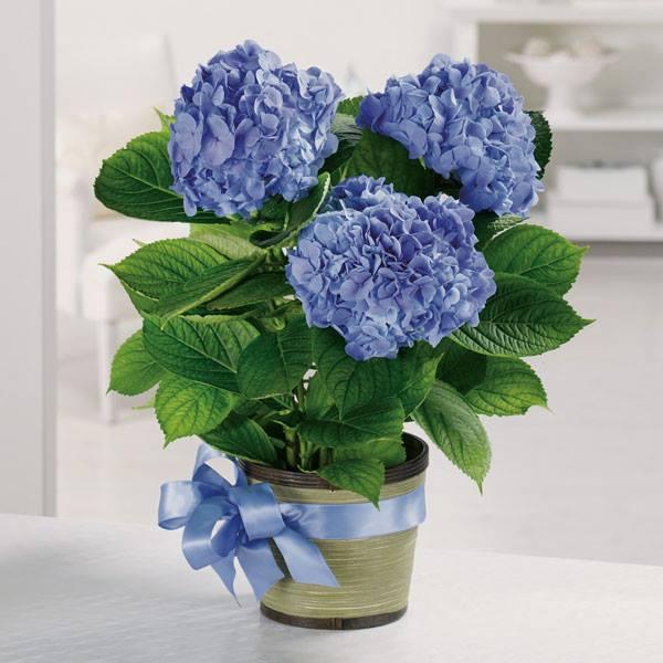 Hoa tú cầu dành tặng người thân yêu