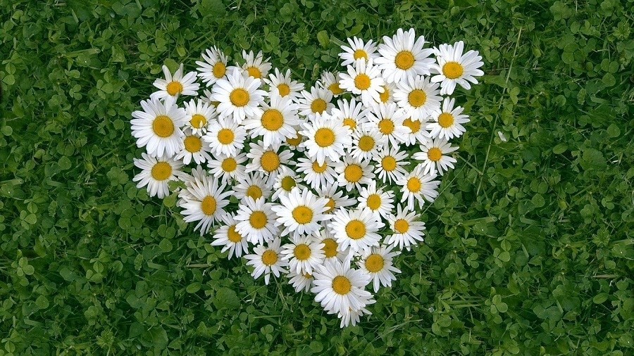 Hoa cúc trắng mang đến sự bình yên trong tâm
