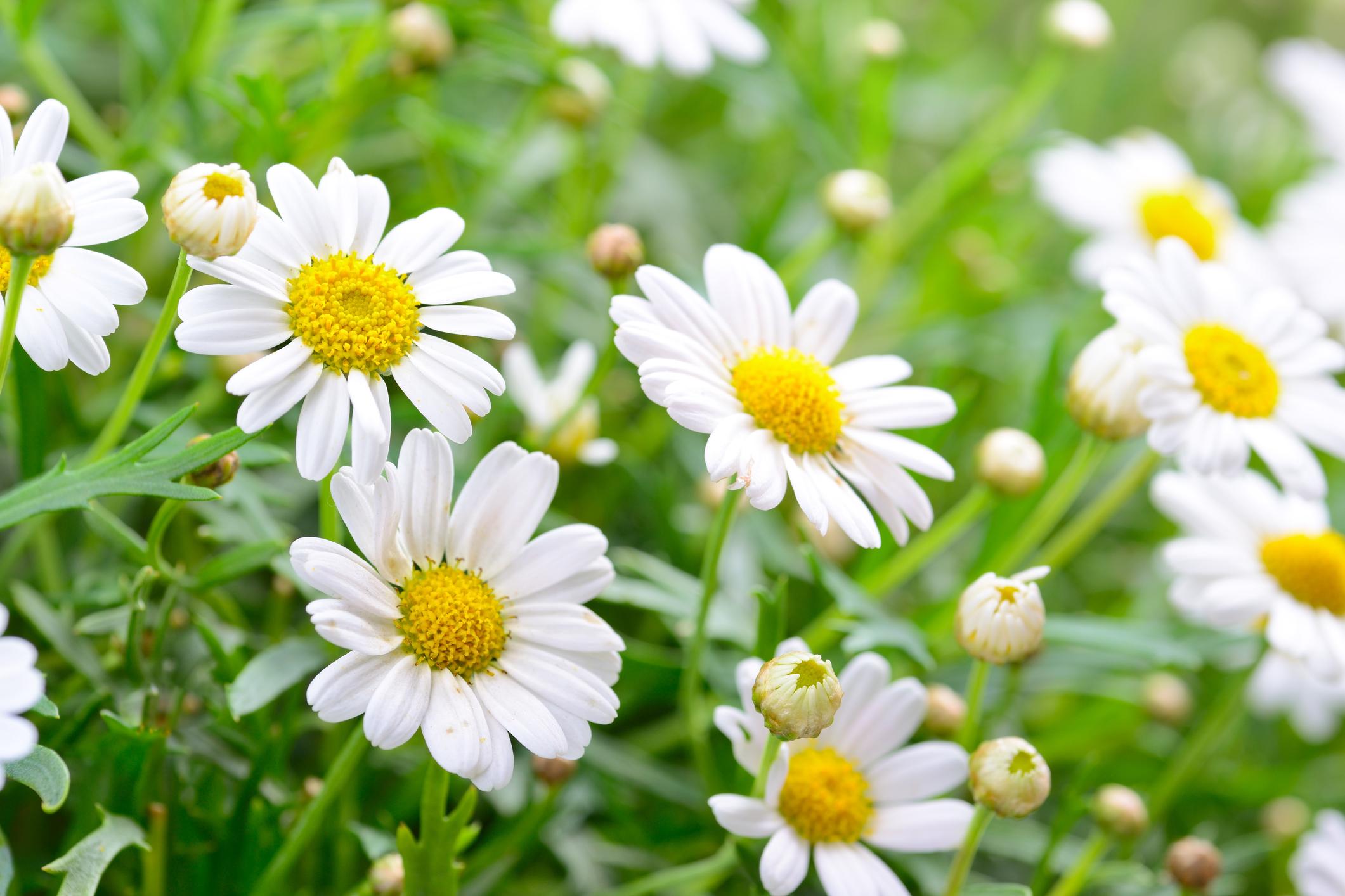 Hoa cúc là biểu tượng của tình yêu chân thành
