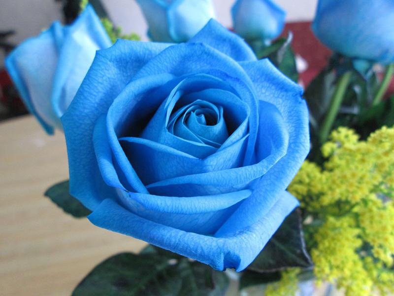 Cánh hoa hồng xanh dương tuyệt đẹp