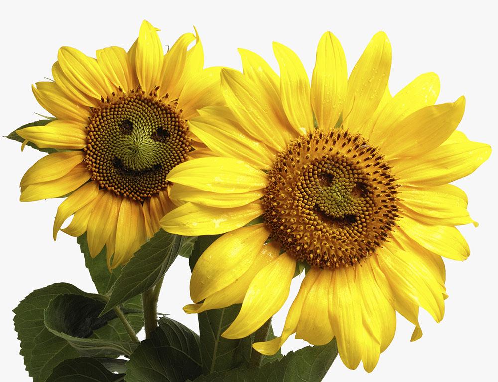 80 Bó Hoa hướng dương ý nghĩa dành tặng người thân yêu nhất!