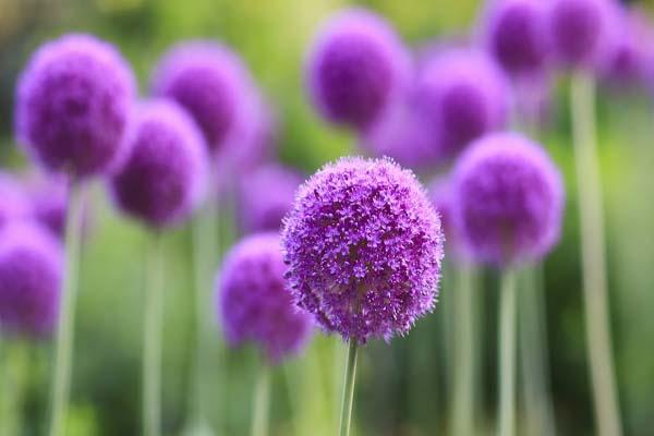 ý nghĩa hoa màu tím trong tình yêu