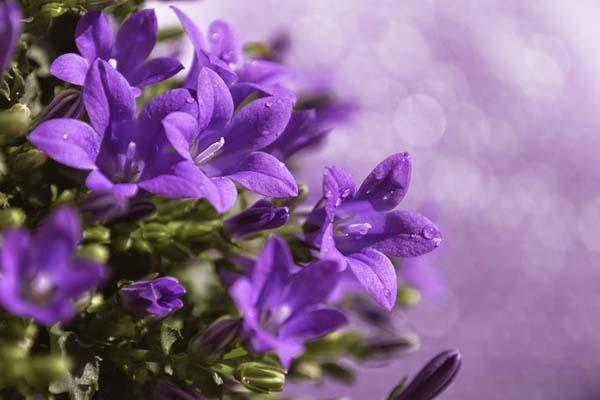 Hút hồn bởi vẻ đẹp của các sắc hoa màu tím
