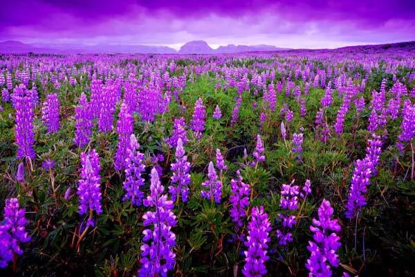 ý nghĩa hoa màu tím trong cuộc sống