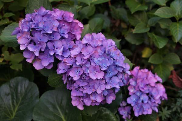 Hoa mầu tím tượng trưng cho sự thủy chung