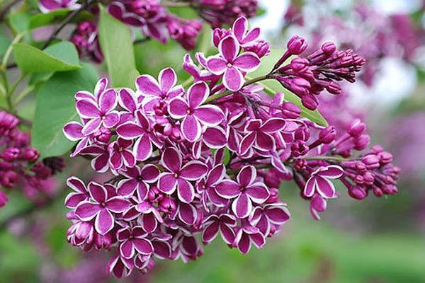 Hình ảnh hoa màu tím đẹp mê hồn