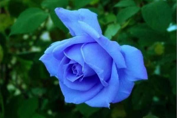 Top 10 loài hoa màu xanh tuyệt đẹp Top-10-loai-hoa-mau-xanh-tuyet-dep-05