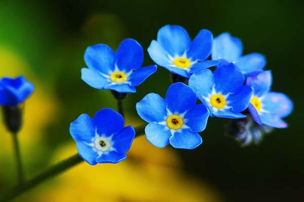 Top 10 loài hoa màu xanh tuyệt đẹp Top-10-loai-hoa-mau-xanh-tuyet-dep-6