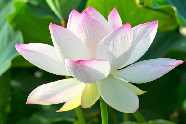 Hoa, quà, đồ trang trí:  Top-nhung-mau-hoa-sen-dep-nhat-2019-10