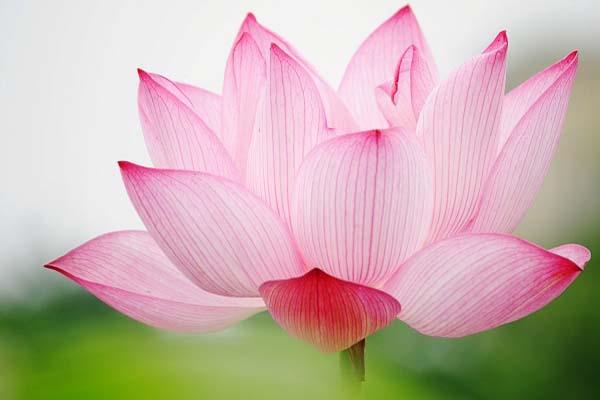 Hoa, quà, đồ trang trí:  Top-nhung-mau-hoa-sen-dep-nhat-2019-3