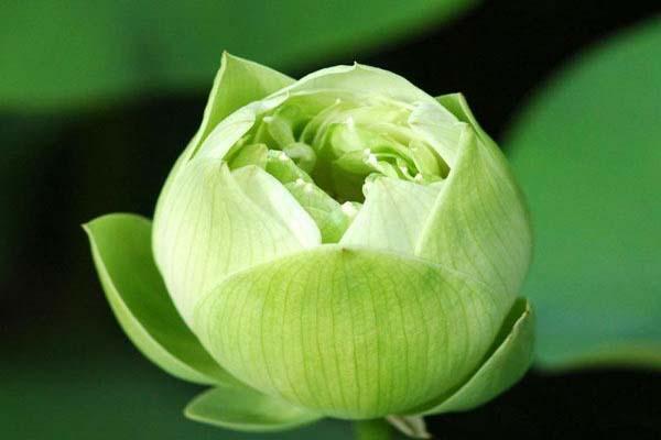 Hoa, quà, đồ trang trí:  Top-nhung-mau-hoa-sen-dep-nhat-2019-8