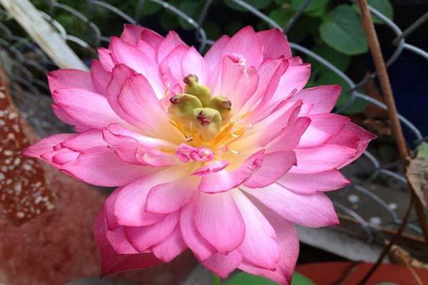 Hoa, quà, đồ trang trí:  Top-nhung-mau-hoa-sen-dep-nhat-2019-9