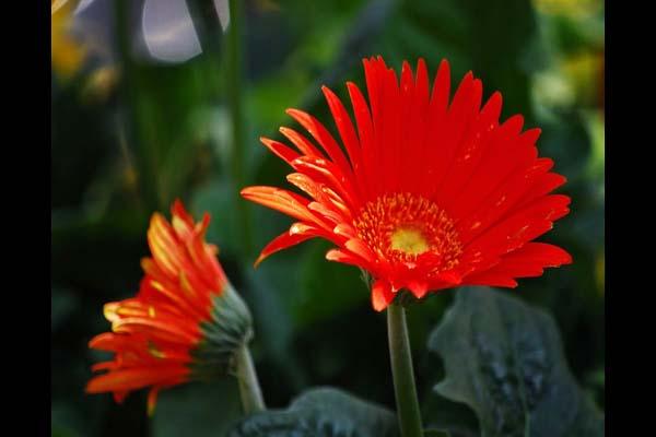 Tuyển tập các loại hoa có màu đỏ mang tượng trưng cho tình yêu Tuyen-tap-cac-loai-hoa-co-mau-do-mang-tuong-trung-cho-tinh-yeu-06