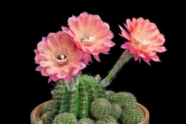 mẫu hoa xương rồng đẹp