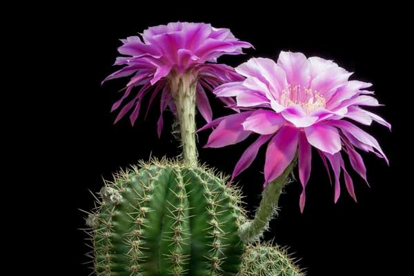 các loại hoa xương rồng đẹp nhất