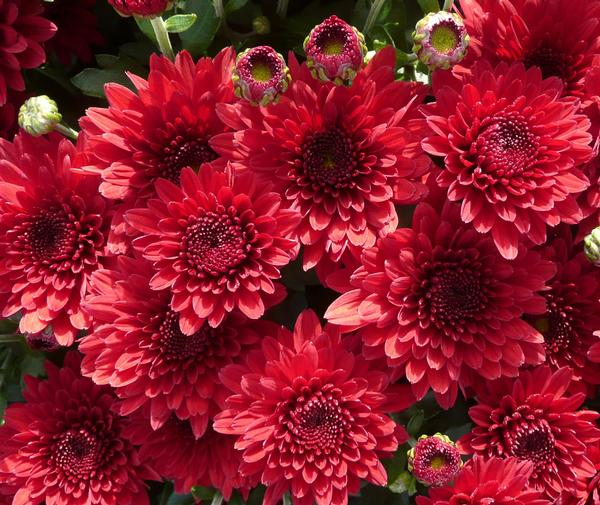 Ý nghĩa hoa cúc đỏ